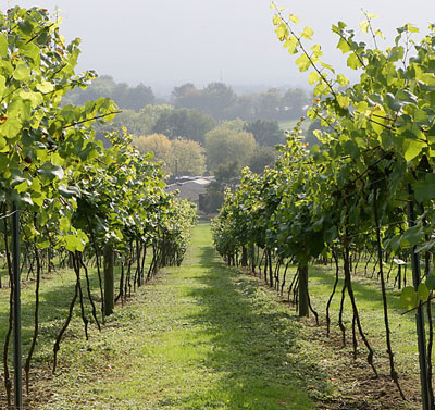 На каком расстоянии сажать виноград на участке: интервалы 12